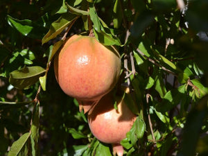 Ambrosia Pomegranate bush