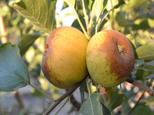 organic heirloom apple trees