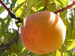 Baby Crawford heirloom peach tree