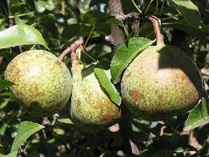 Belle Lucrative organic heirloom pear tree
