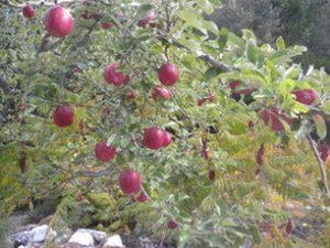 Bethel  organic heirloom apple tree
