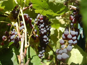 Black Monukka Grape vines
