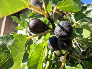 Black Jack Fig tree