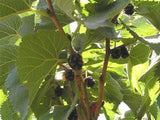 Black Mulberry Bush