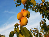 Blenheim heirloom apricot tree