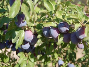 Blue Damson heirloom plum tree