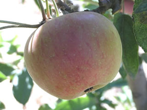 Braeburn organic heirloom apple tree