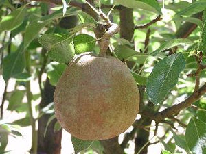 duchess bronzee pear organic tree