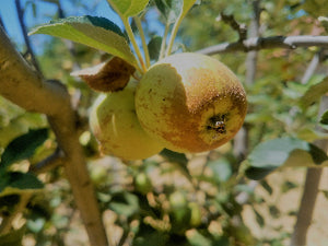 Brown Snout organic apple tree