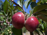 Burford Red Flesh organic heirloom apple tree