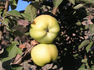 Calville Blanc organic heirloom apple tree