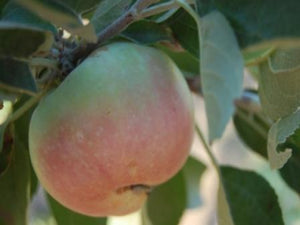 Calville Rouge organic heirloom apple tree