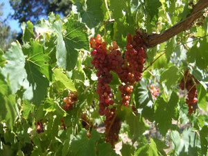 Canadice Grape vine