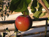Cinnamon Spice organic heirloom apple tree