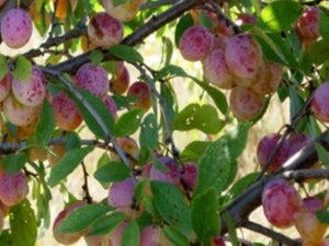 Coes Golden Drop heirloom plum tree