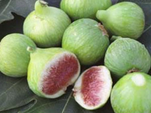 Conadria Fig tree