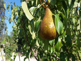 Conference organic heirloom pear tree