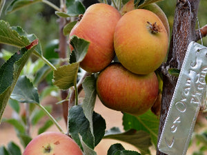 Cox Orange Pippin organic heirloom apple tree
