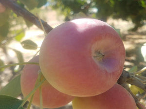 Crimson Gold organic heirloom apple tree