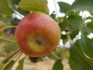 Crown Prince Rudolph organic heirloom apple tree