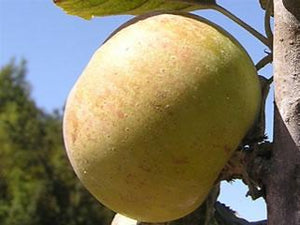 D'Arcy Spice organic heirloom apple tree