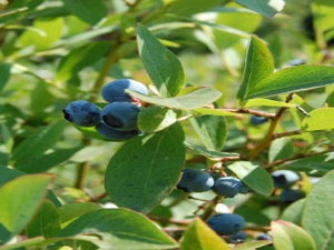 Darrow Blueberry bush