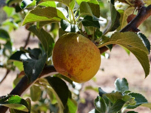 Davenport Russet organic apple tree