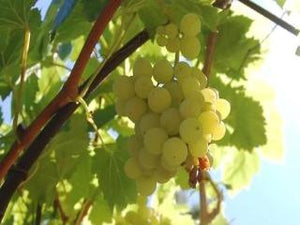 Niagara grape trees of antiquity