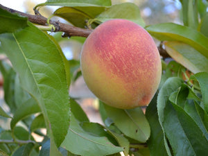 Dixon heirloom peach tree