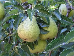 highland pear tree organic trees