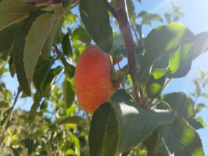 Duchess of Oldenburg organic heirloom apple tree