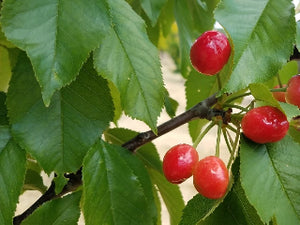 Late Duke certified organic cherry trees for sale