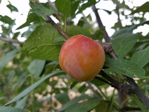 Early Laxton heirloom plum tree