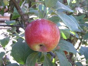 Empire organic heirloom apple tree