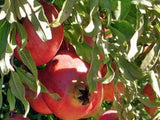 eversweet pomegranate bush