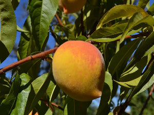 Fay Elberta heirloom peach tree