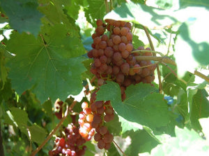 Flame Grape vine