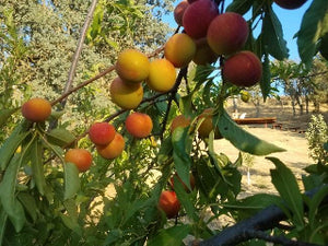 Flavor Grenade Pluot tree for sale