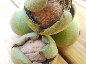 Franquette Walnut tree for sale