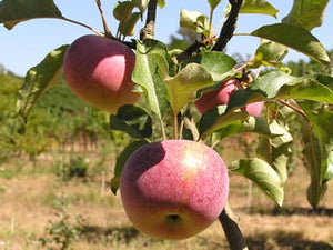 Frauen Rotacher organic heirloom apple tree