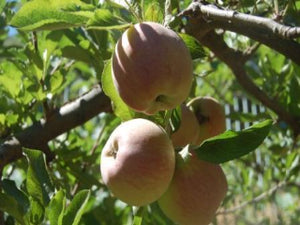 Fuji organic heirloom apple tree for sale