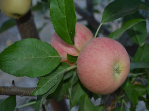 Gala organic heirloom apple tree for sale
