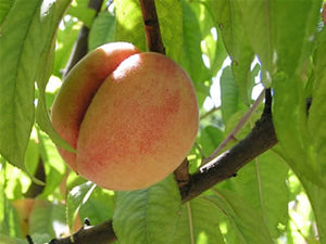 George IV heirloom peach tree for sale