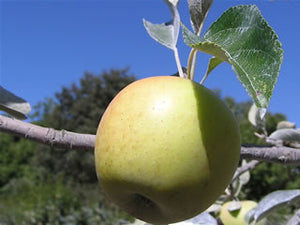 Gilbert Gold organic heirloom apple tree for sale