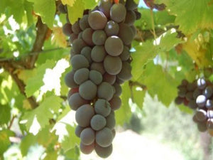 Glenora Grape vine for sale