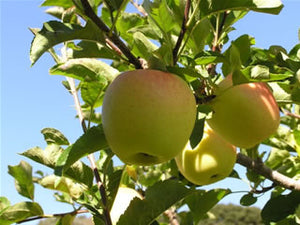 Golden Delicious organic heirloom apple tree