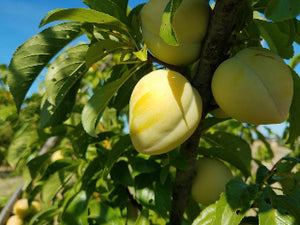 Golden Nectar heirloom plum tree for sale