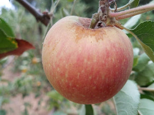 Golden Pearmain heirloom apple tree
