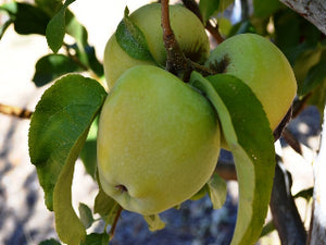 Golden Reinette organic heirloom apple tree for sale