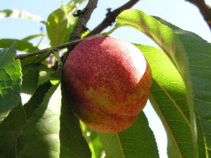 Goldmine heirloom nectarine tree for sale